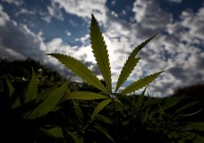 187,000 Pounds of Marijuana Annually? Legal Pot Business to Bloom in Washington