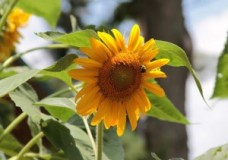 A bee on a sunflower.   ganja.net