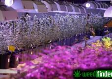 Medical Marijuana has Profound Effect on Pain Relief