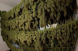 The Legalization of Marijuana in California? - Weed Finder™ News